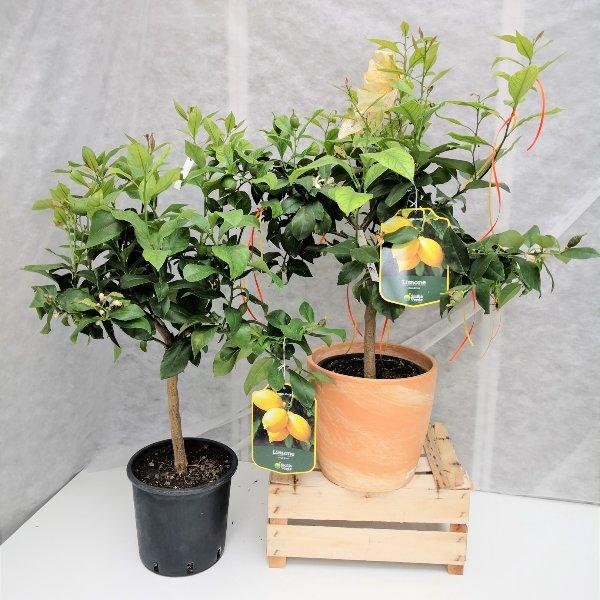 Zitronenbaum Bild 1
