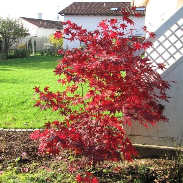 Ahorn Acer palmatum 'Bloodgood' Bild 3
