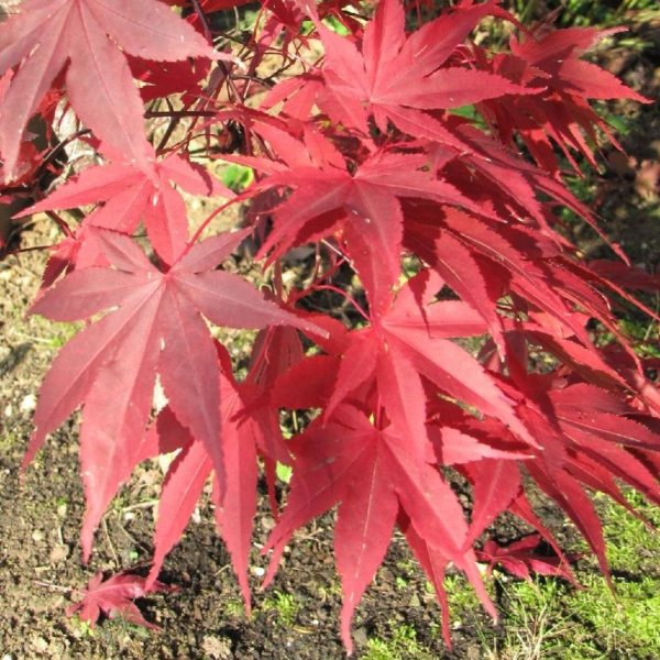 Ahorn Acer palmatum 'Bloodgood' Bild 4