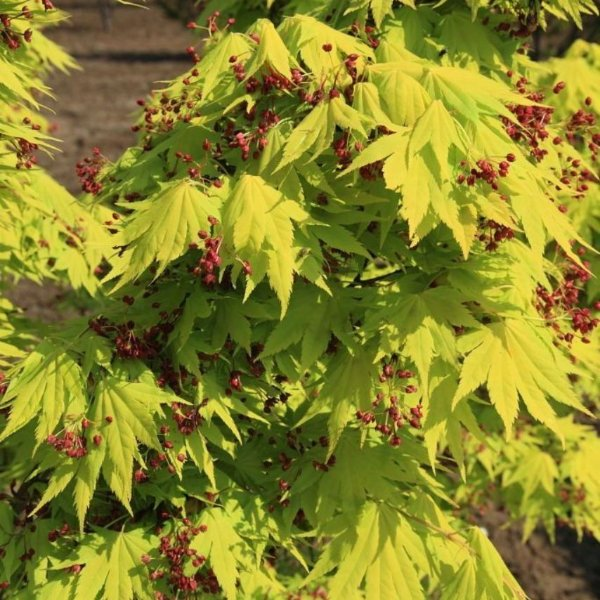 Ahorn Acer shirasawanum 'Jordan' Bild 3