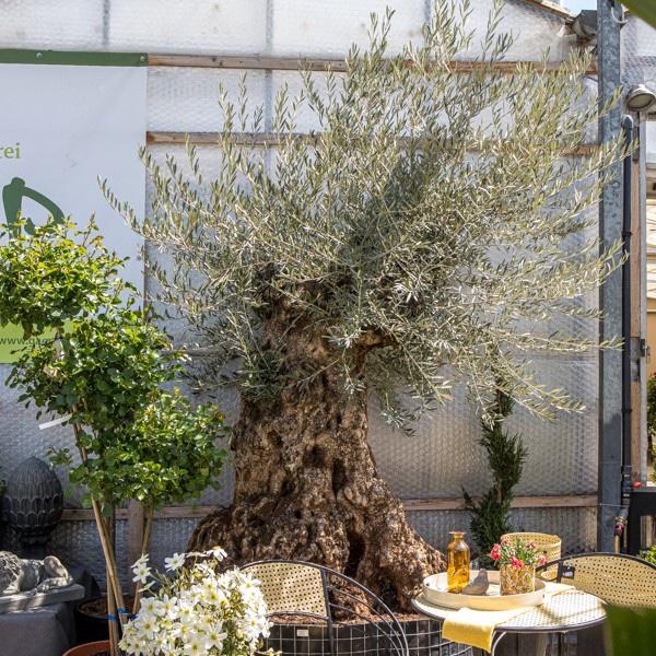 Olive Bonsai Bild 1