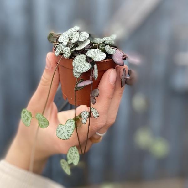 #P1 Baby-Pflanze Bild 2