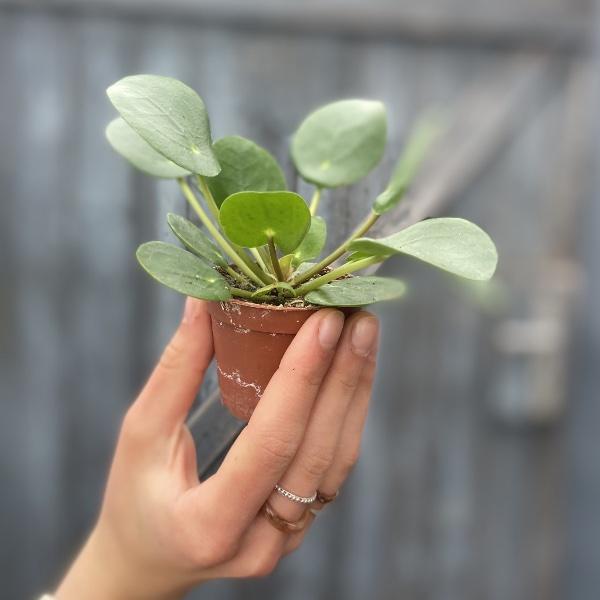 #P1 Baby-Pflanze Bild 4