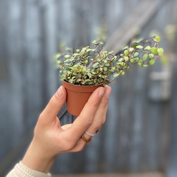 #P1 Baby-Pflanze Bild 5