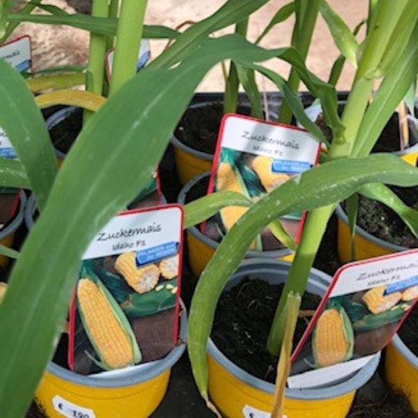 Gemüse-Pflanzen Bild 9