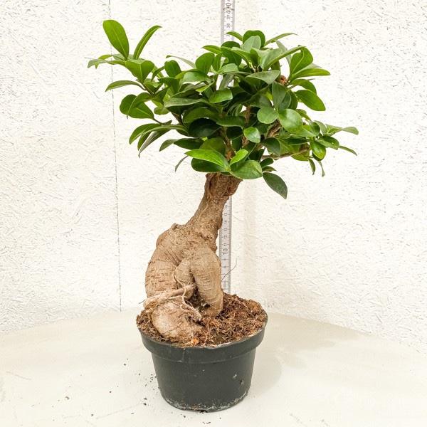 Chinesische Feige 'Ficus Ginseng' - Bonsai Bild 1