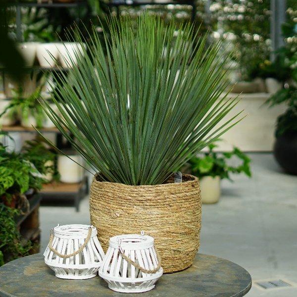 Yucca Bild 1