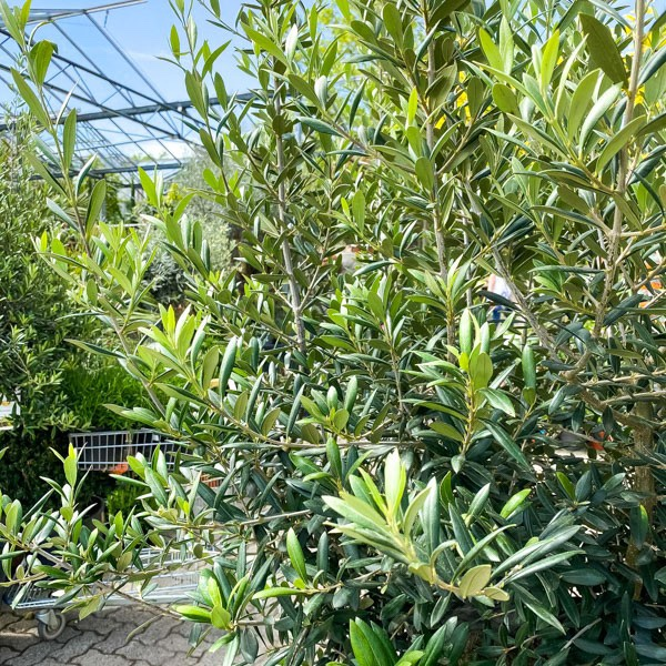 Oliven-Hochstamm Bild 2