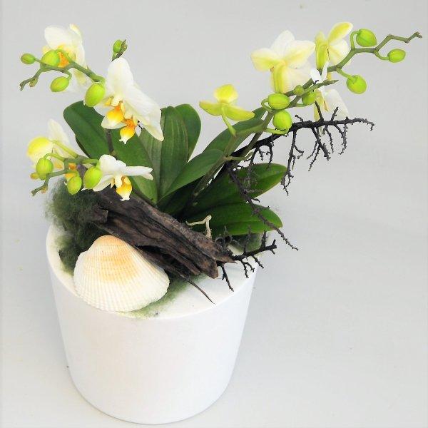 Orchidee Dezenta 3 Bild 1