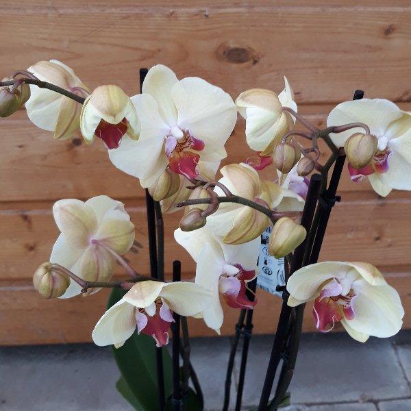 Orchidee Bild 1