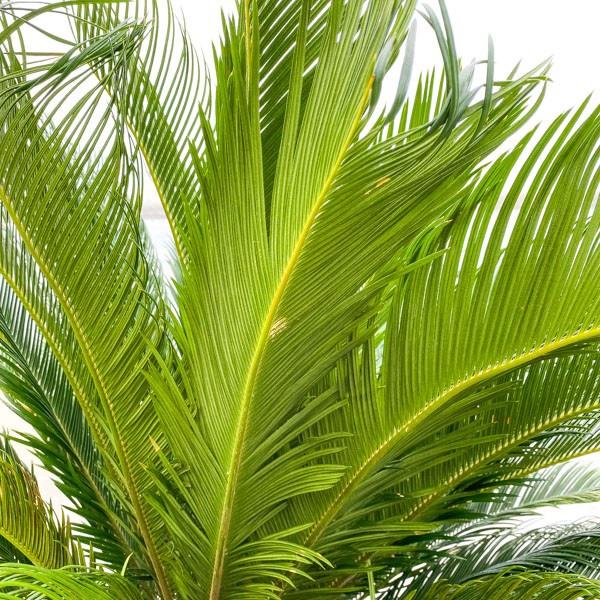 XXL Japanischer Palmfarn 'Cycas revoluta' 200cm Bild 2