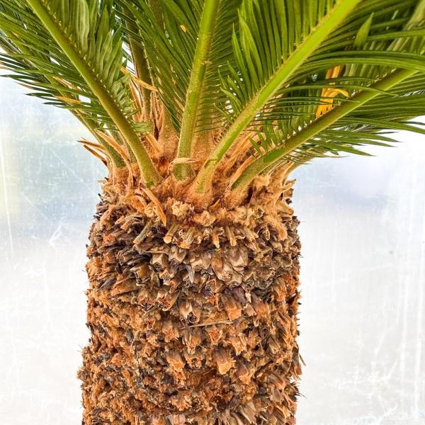 XXL Japanischer Palmfarn 'Cycas revoluta' 200cm Bild 3