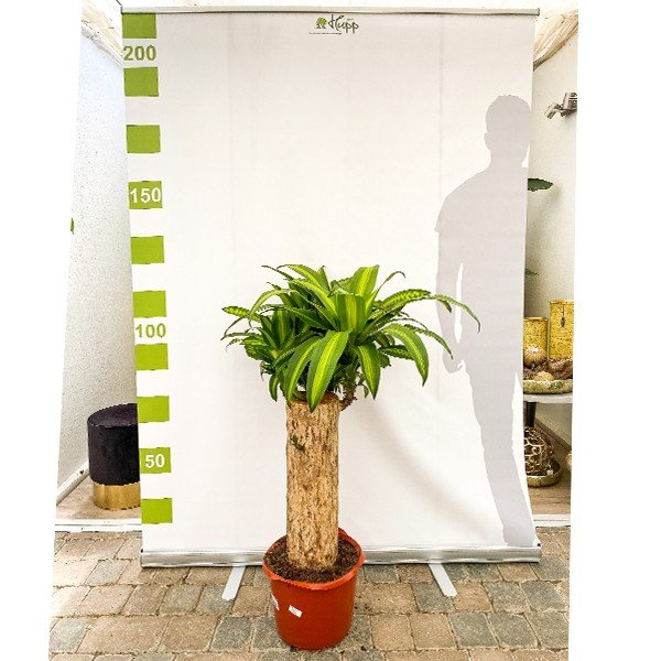 XXL Drachenbaum 'Dracaena Massangeana' 120cm Bild 2