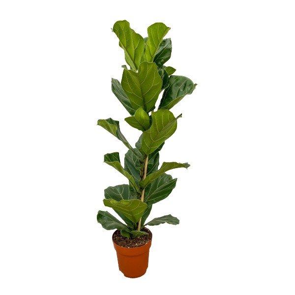 Geigenfeige 'Ficus lyrata' Bild 1