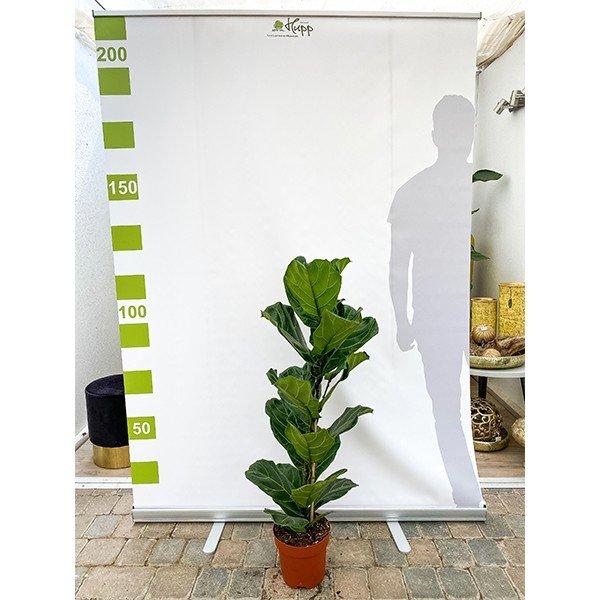 Geigenfeige 'Ficus lyrata' Bild 2