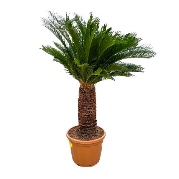 XXL Japanischer Palmfarn 'Cycas revoluta' 200cm Bild 1
