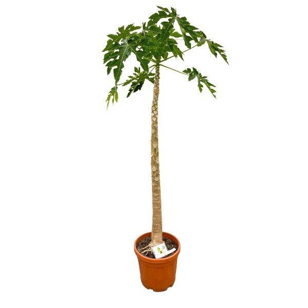 XXL Papaya  'Carica papaya' 220cm Bild 1