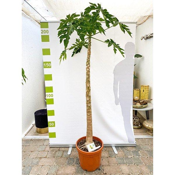 XXL Papaya  'Carica papaya' 220cm Bild 2