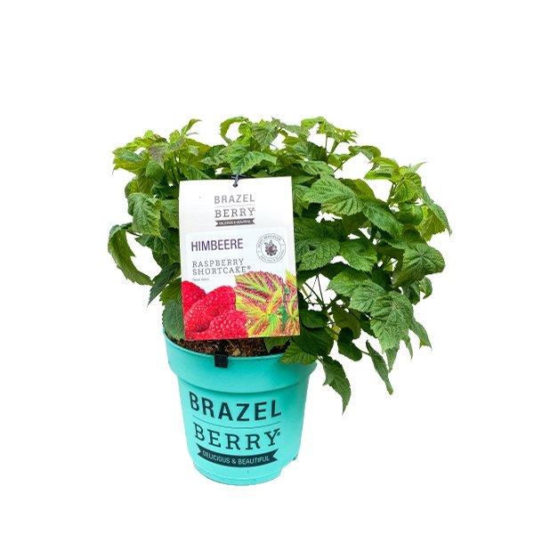 BrazelBerry® - Himbeere Raspberry Shortcake® Bild 1