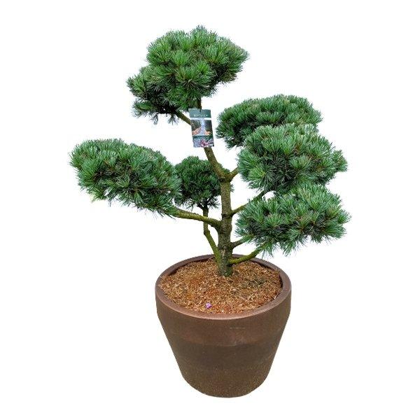 Japanische Mädchen-Kiefer 'Pinus parviflora Negishi' Bonsai 150cm Bild 1