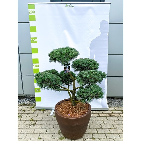 Japanische Mädchen-Kiefer 'Pinus parviflora Negishi' Bonsai 150cm Bild 2