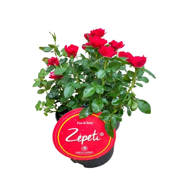 Rose Zepeti® Bild 1