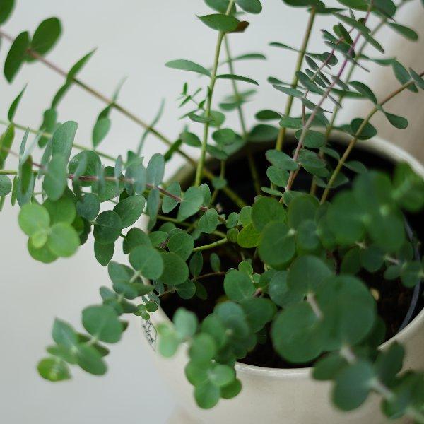 Eukalyptus Bild 2
