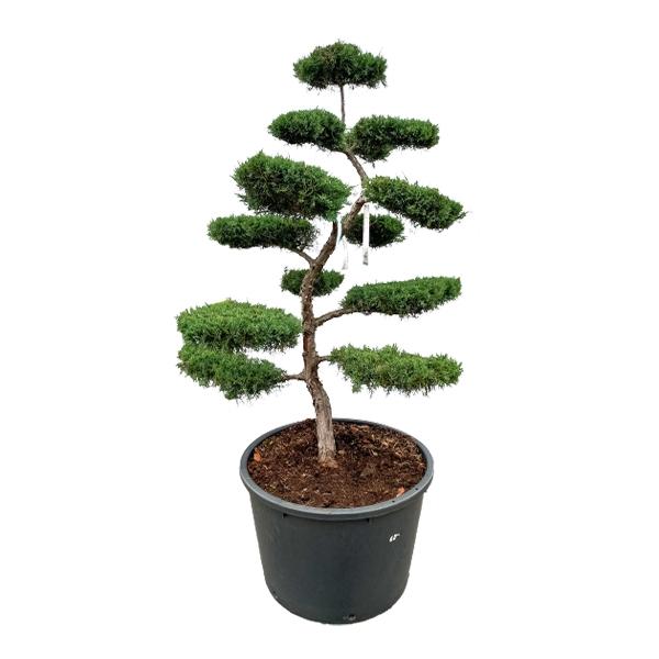 Grauer Strauchwacholder 'Juniperus media Hetzii' Bonsai 220cm Bild 1