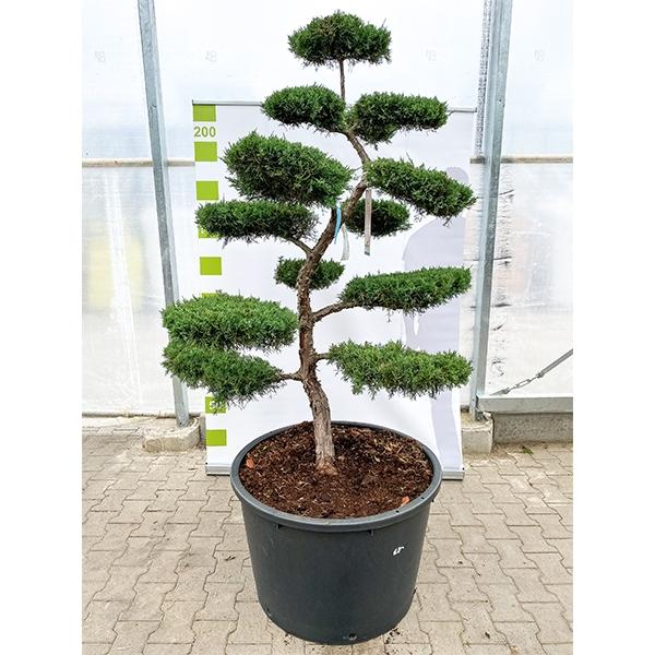 Grauer Strauchwacholder 'Juniperus media Hetzii' Bonsai 220cm Bild 2