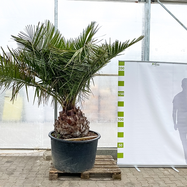 Honigpalme 'Jubaea chilensis' 250cm Bild 2