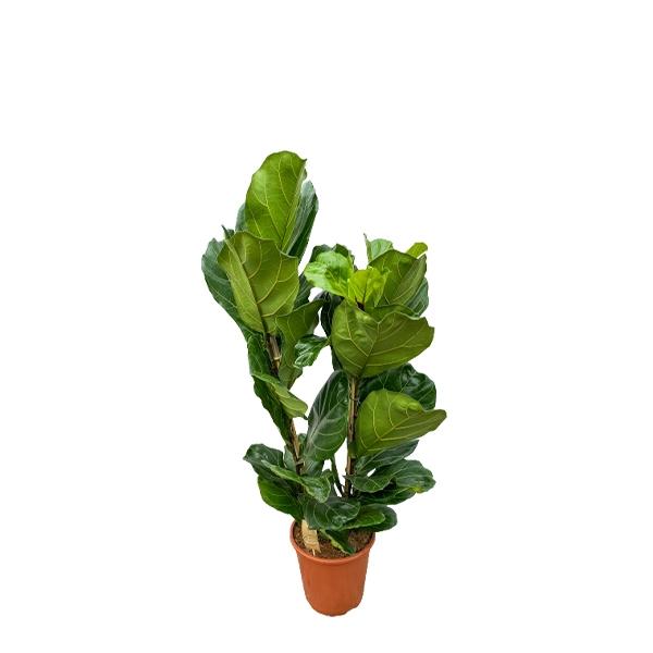 XXL Geigenfeige 'Ficus lyrata'  130cm Bild 1