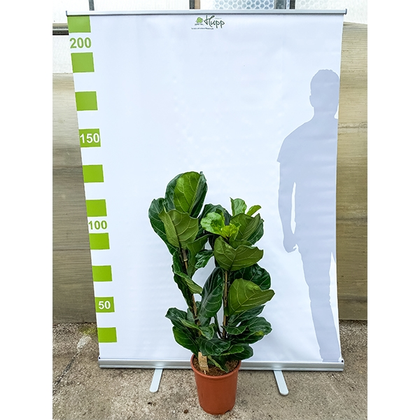 XXL Geigenfeige 'Ficus lyrata'  130cm Bild 2