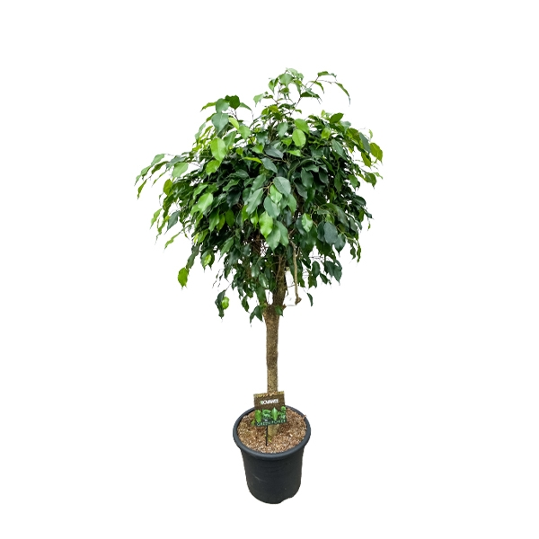 XXL Birkenfeige 'Ficus microcarpa Nikita' Kugel-Hochstamm 160cm Bild 1