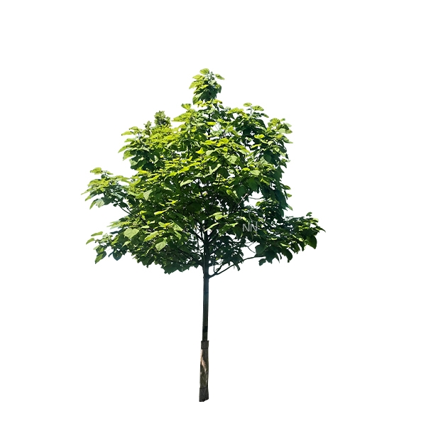 Trompetenbaum Catalpa bignonioides 'Nana' Bild 2