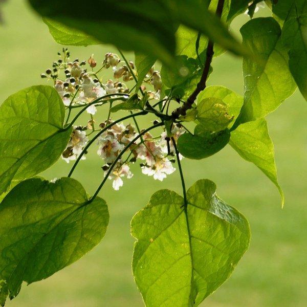 Trompetenbaum Catalpa bignonioides 'Nana' Bild 1