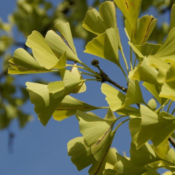 Fächerblattbaum Ginkgo biloba 'Mariken' Bild 1