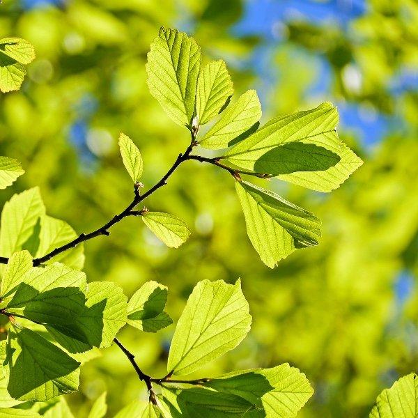 Eisenholzbaum Parrotia persica 'Persian Spire' Bild 1