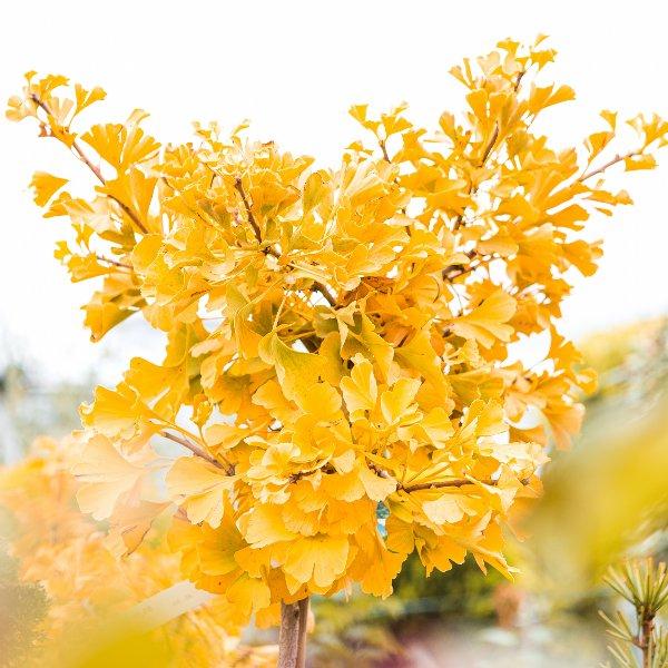 Fächerblattbaum Ginkgo biloba 'Mariken' Bild 2