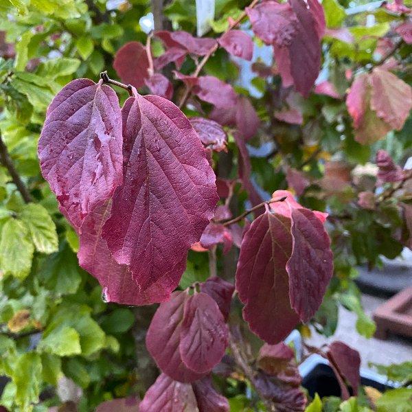 Eisenholzbaum Parrotia persica 'Persian Spire' Bild 2