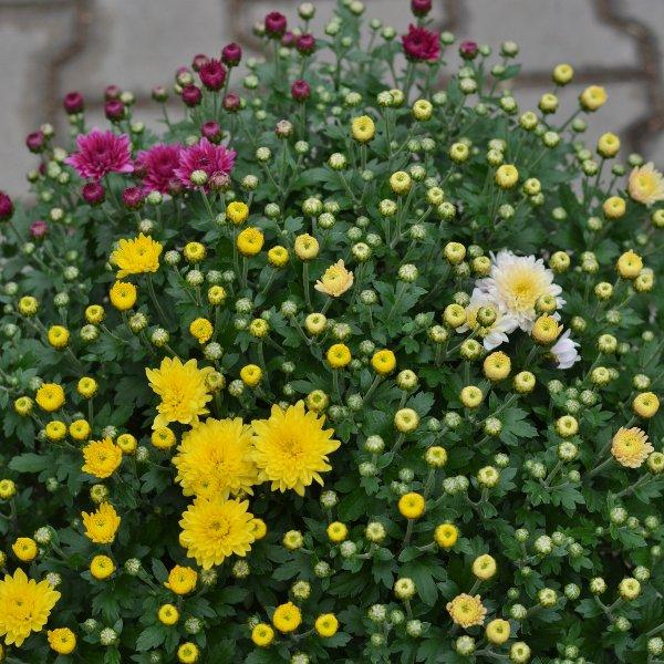 Chrysanthemen Busch - dreifarbig Bild 1