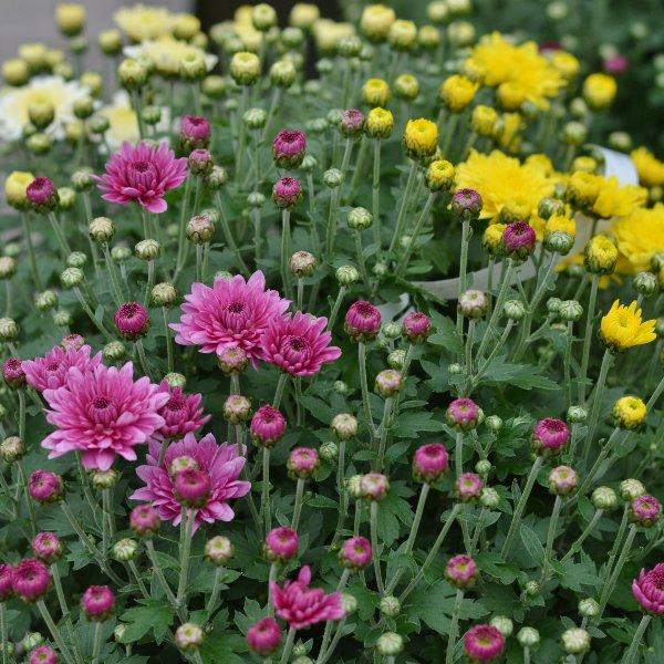 Chrysanthemen Busch - dreifarbig Bild 2