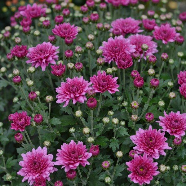Chrysanthemen Busch einfarbig Bild 1