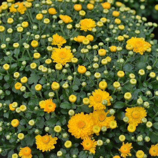 Chrysanthemen Busch einfarbig Bild 2