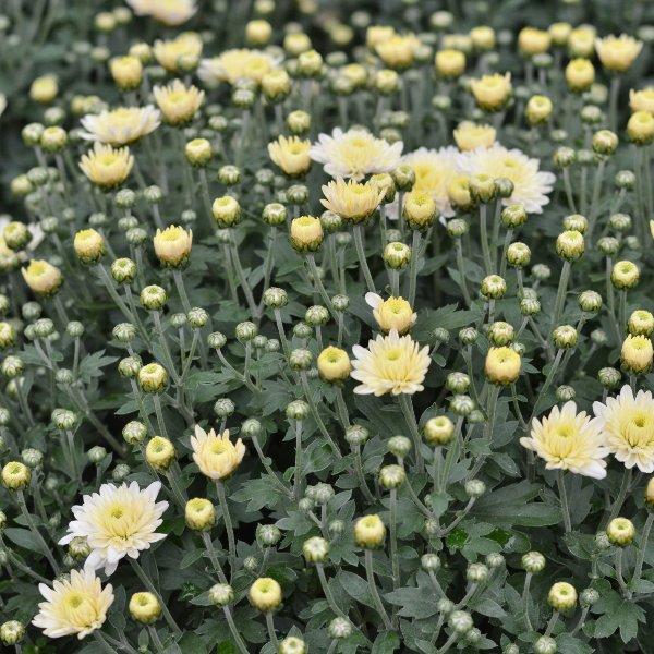 Chrysanthemen Busch einfarbig Bild 3