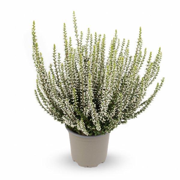 Besenheide Calluna 'vulgaris' Gardengirls® T11 Bild 3