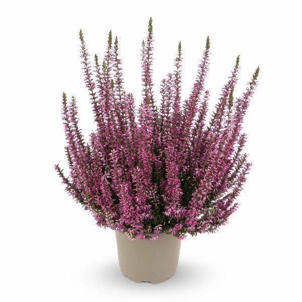 Besenheide Calluna 'vulgaris' Gardengirls® T11 Bild 2