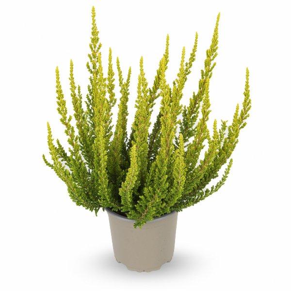 Besenheide Calluna 'vulgaris' Gardengirls® T11 Bild 4
