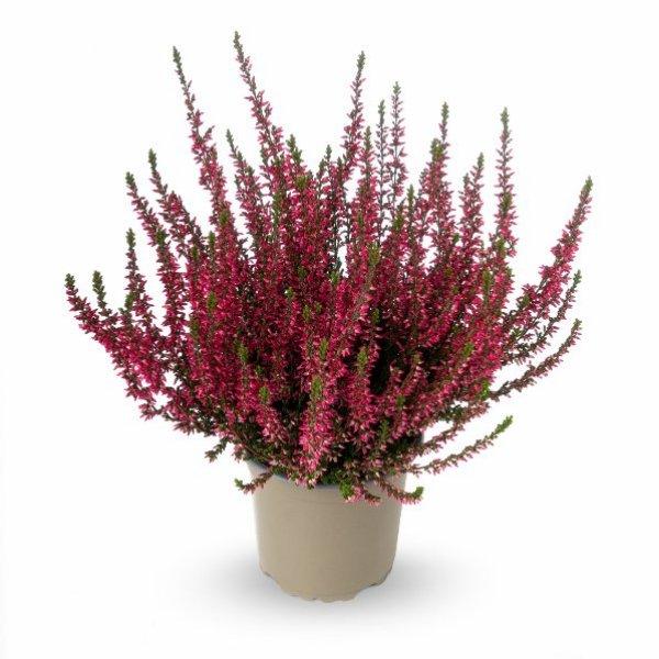 Besenheide Calluna 'vulgaris' Gardengirls® T11 Bild 1