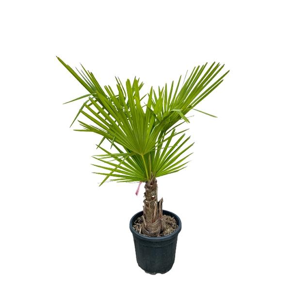 Chinesische Hanfpalme 'Trachycarpus fortunei' 130cm Bild 1