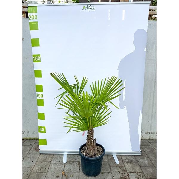 Chinesische Hanfpalme 'Trachycarpus fortunei' 130cm Bild 2